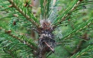 Гусеницы жука пилильщика уничтожают хвою растения