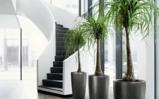 Растения комнатные в виде дерева