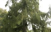 Какое хвойное дерево сбрасывает хвою на зиму