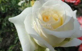 Чайная роза шопен украсит любой сад