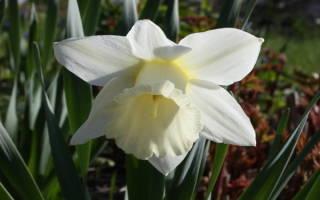 Нарцисс трубчатый сорта маунт