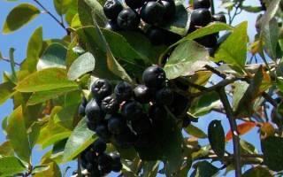 Черноплодная рябина как сажать и ухаживать
