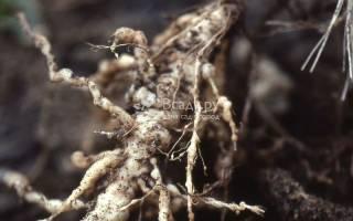 Галловые нематоды повреждают корневую систему гортензии