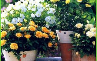 Хризантемы посадка и уход осенью выращивание в теплице