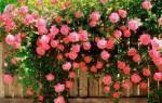 Роза плетистая посадка и уход осенью