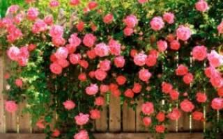 Как пересадить вьющуюся розу осенью