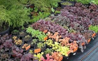 Можно ли выращивать гейхеру как комнатное растение