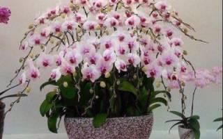 Как выглядят семена орхидеи