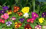 Примулы выращивание и уход