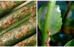 Щитовки на комнатных растениях как бороться в домашних условиях