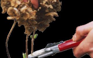 Когда обрезать гортензию осенью или весной