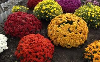 Нужно ли укрывать хризантемы на зиму