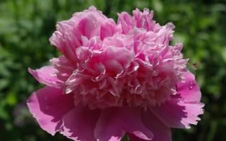 Пион молочноцветковый эдулис суперба