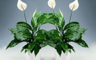 Комнатные цветы приносящие счастье и любовь в домашних условиях