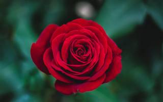 Как размножить розы садовые черенками в домашних условиях