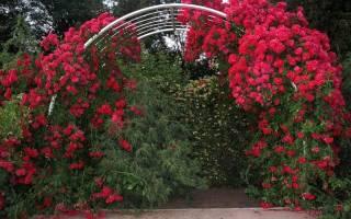 Розы в саду плетистые