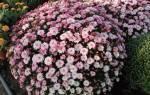 Хризантема садовая многолетняя посадка и уход осенью