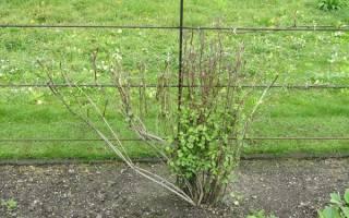 Клематисы посадка и уход можно ли его садить осенью