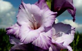 Цветы садовые гладиолусы уход пересадка
