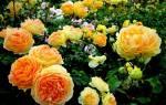Розы уход осенью обрезка