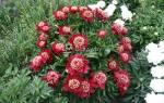Молочноцветковый сорт пиона акрон