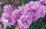 Армерия луизианская выращивание из семян