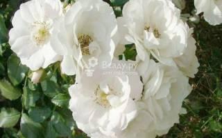Почвопокровая роза ice meillandecor
