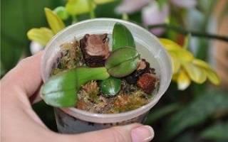 Орхидея уход и размножение в домашних условиях и полив