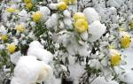 Нужно ли обрезать хризантемы на зиму