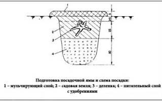 Подготовка посадочной ямы для пионов
