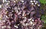 Оксалис уход осенью в саду