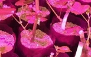 Как вырастить саженцы из черенков винограда