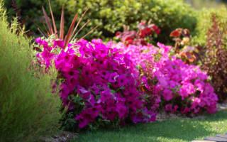 Многолетники цветы на дачном участке