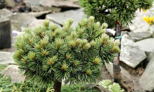 Коллекционные хвойные растения