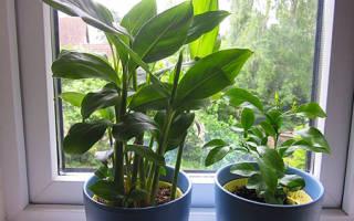 Как из семян вырастить кардамон в домашних условиях