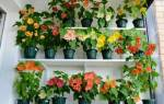 Комнатный цветок с листьями как у клена