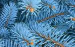 Ель голубая посадка осенью и уход