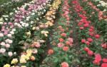 Розы спрей уход осенью
