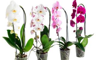 Как ухаживать за орхидеей фаленопсис после покупки