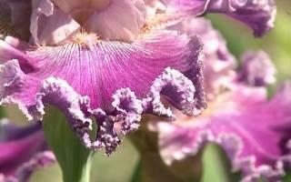 Нужно ли обрезать ирисы после цветения