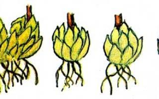 Как размножают лилии