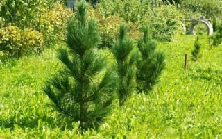 Как посадить кедр на садовом участке