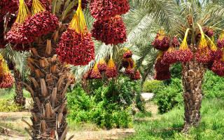 Пальма виды и названия