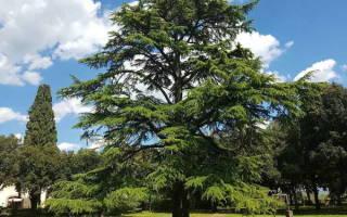 Кедр это хвойное или лиственное дерево