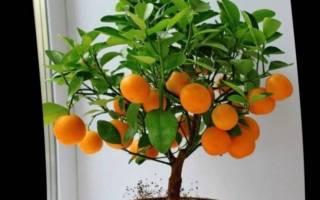 Уход за мандариновым деревом в домашних условиях осенью