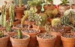 Цветные кактусы как ухаживать