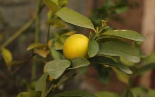 Комнатный лимон в домашних условиях