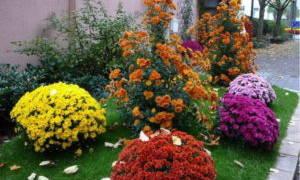 Хризантемы шаровидные посадка и уход в открытом грунте осенью