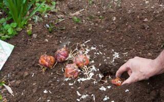 Посадка луковиц лилий