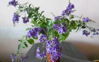 Цветок дуранта как размножается и как ухаживать